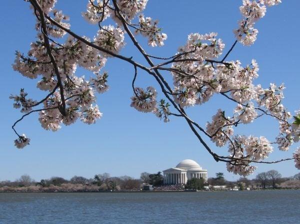 DC Blossoms, Jefferson Memorial, by Maki Sato, M12