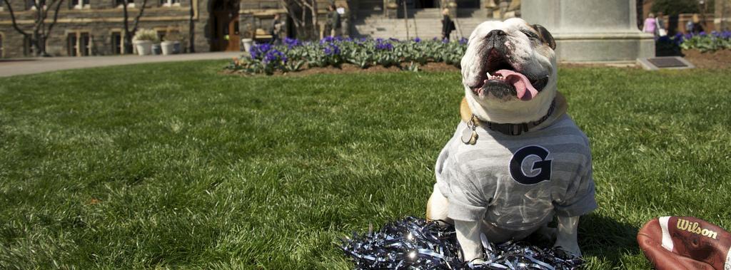 Jack the Bulldog wearing a Georgetown University tee-shirt